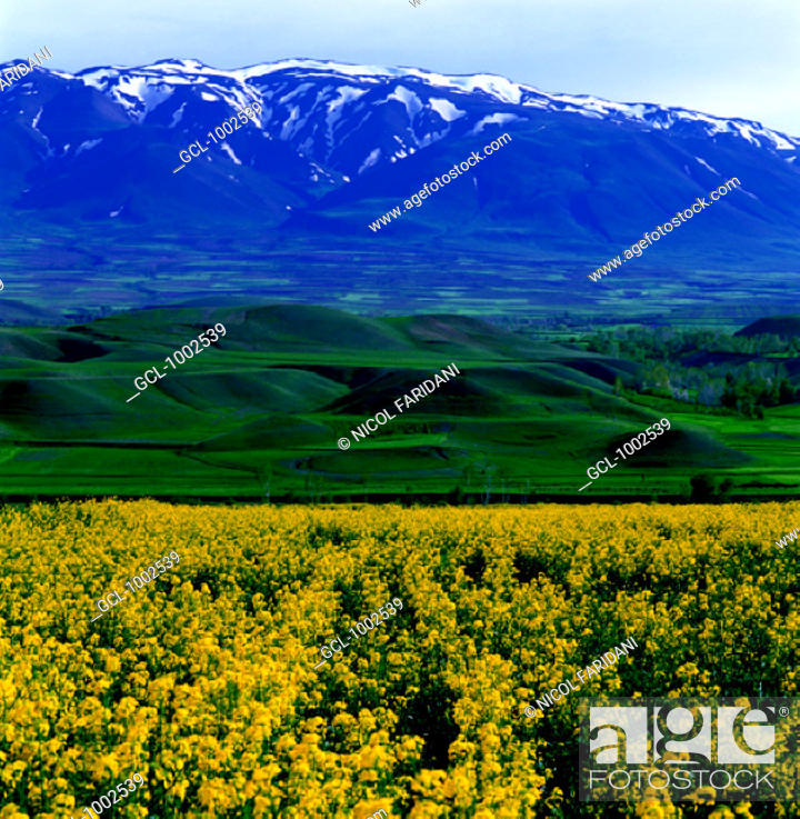 Stock Photo: Canola field and snow-covered mountains, Iran.