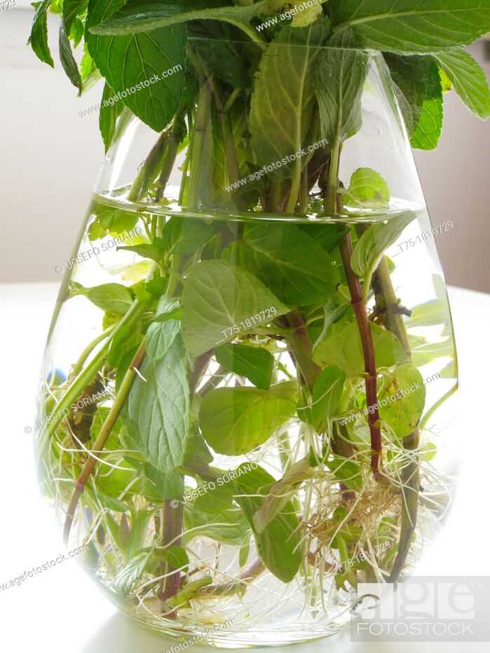 Stock Photo: Mint in hydroponics.