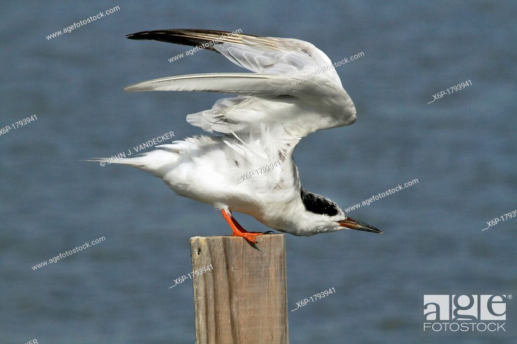 Stock Photo: A Forster's Tern, Sterna fosteri, stretching its wings  Richard DeKorte Park, Lyndhurst, New Jersey, USA.