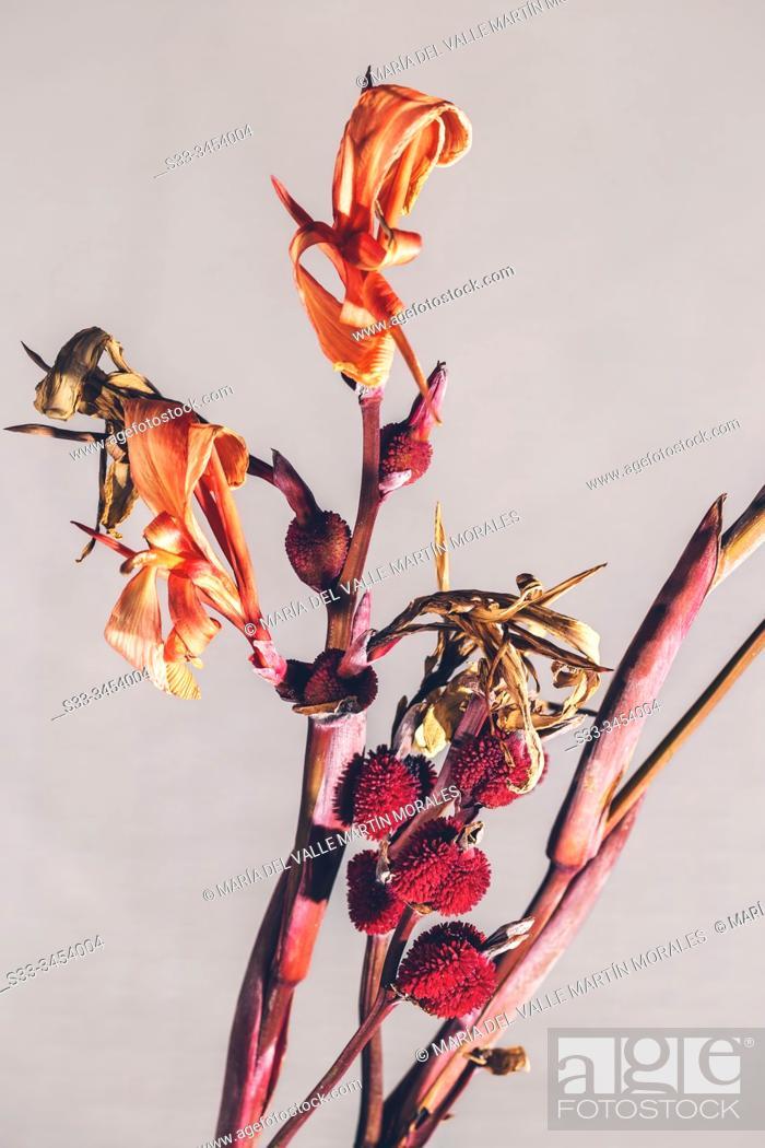 Stock Photo: Spanish lily seeds (Iris xiphium). Madrid. Spain. Europe.
