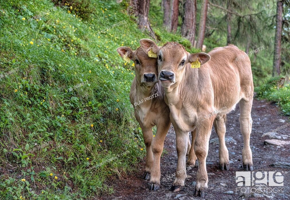 Stock Photo: Swiss Brown Cow Calf Twins closeup in a forest in Grisons, Switzerland.