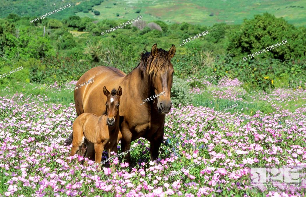 Imagen: Mare with foal in a flowery spring meadow near Tarifa. Cadiz, Andalusia, Spain.