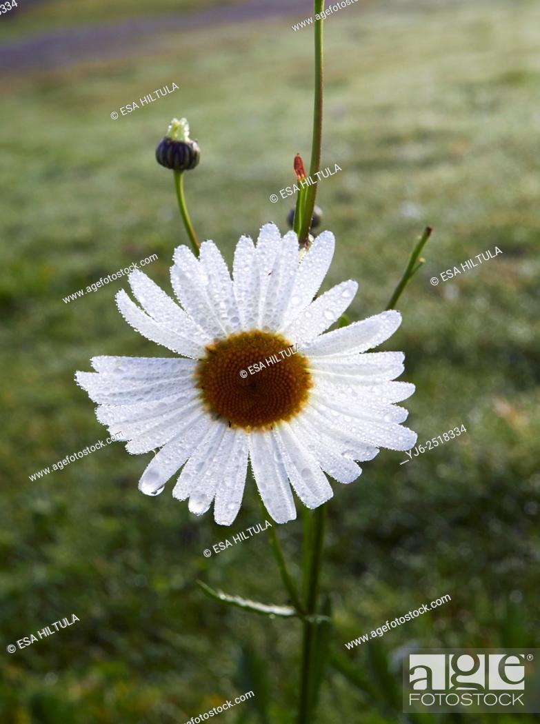 Stock Photo: Leucanthemum vulgare; Oxeye daisy; common daisy.