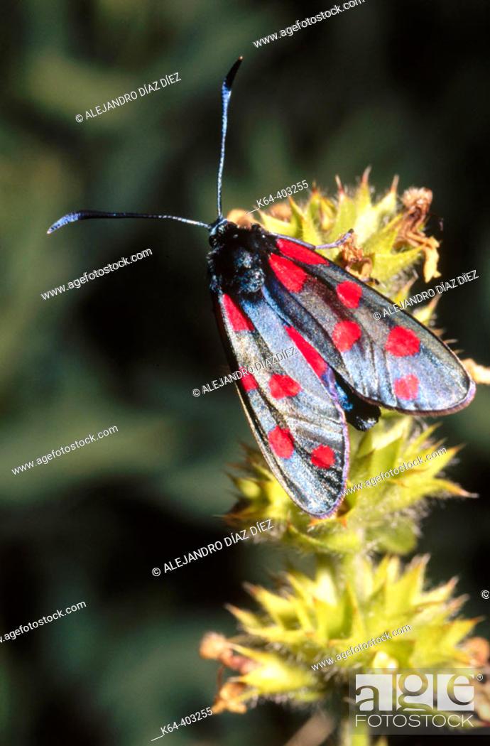 Stock Photo: Six-spot Burnet (Zygaena filipendulae). La Vanoise, France.