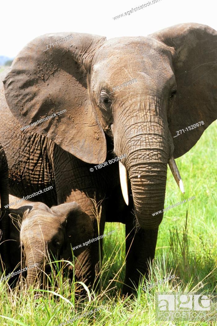 Stock Photo: Elephants, Tarangire National Park, Tanzania.
