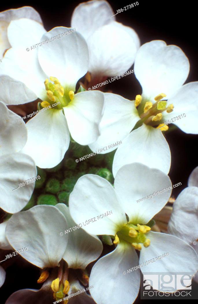 Stock Photo: White Rocket (Diplotaxis erucoides).