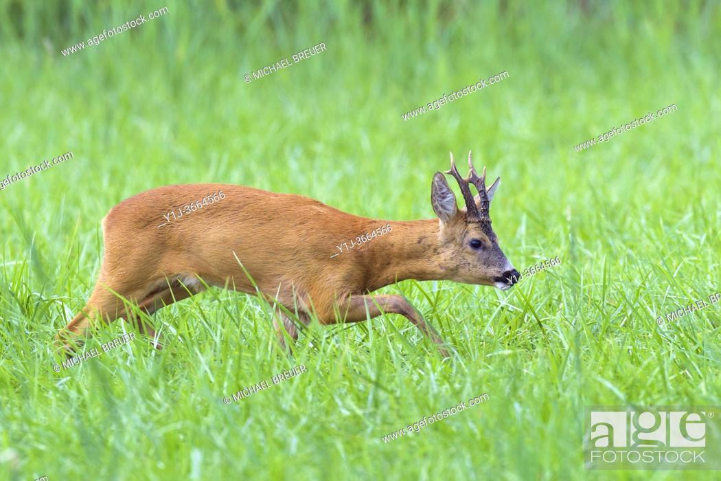 Stock Photo: Western roe deer (Capreolus capreolus) in summer, Germany, Europe.