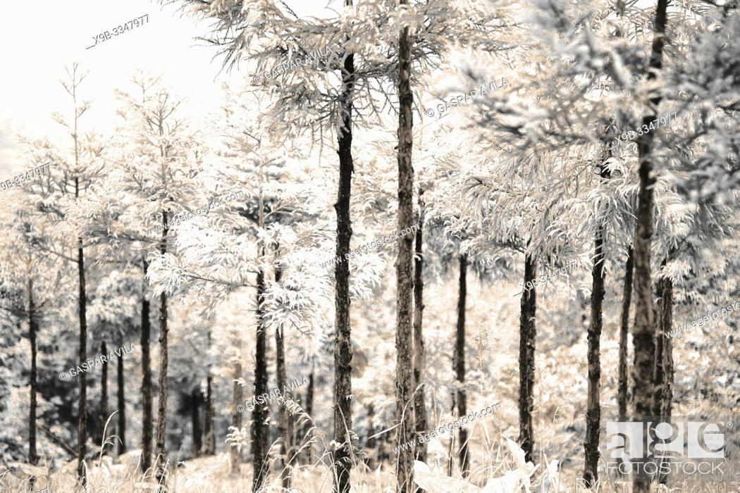 Stock Photo: Simulated infrared photo of Japanese Cedar woods (Cryptomeria japonica).