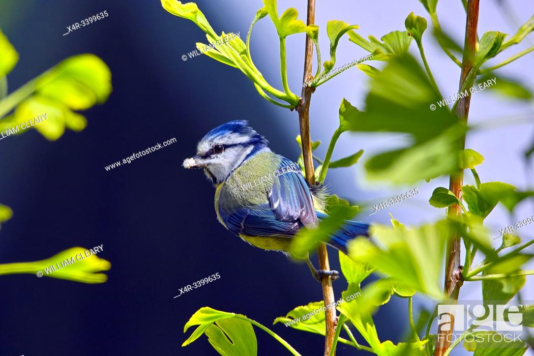 Stock Photo: Bluetit with a caterpillar in its beak resting on the branch of a Ginko tree.