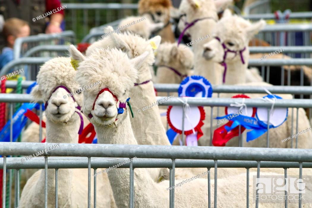 Stock Photo: Llamas at the 2011 Tullamore Agricultural Show, County Offaly, Ireland.