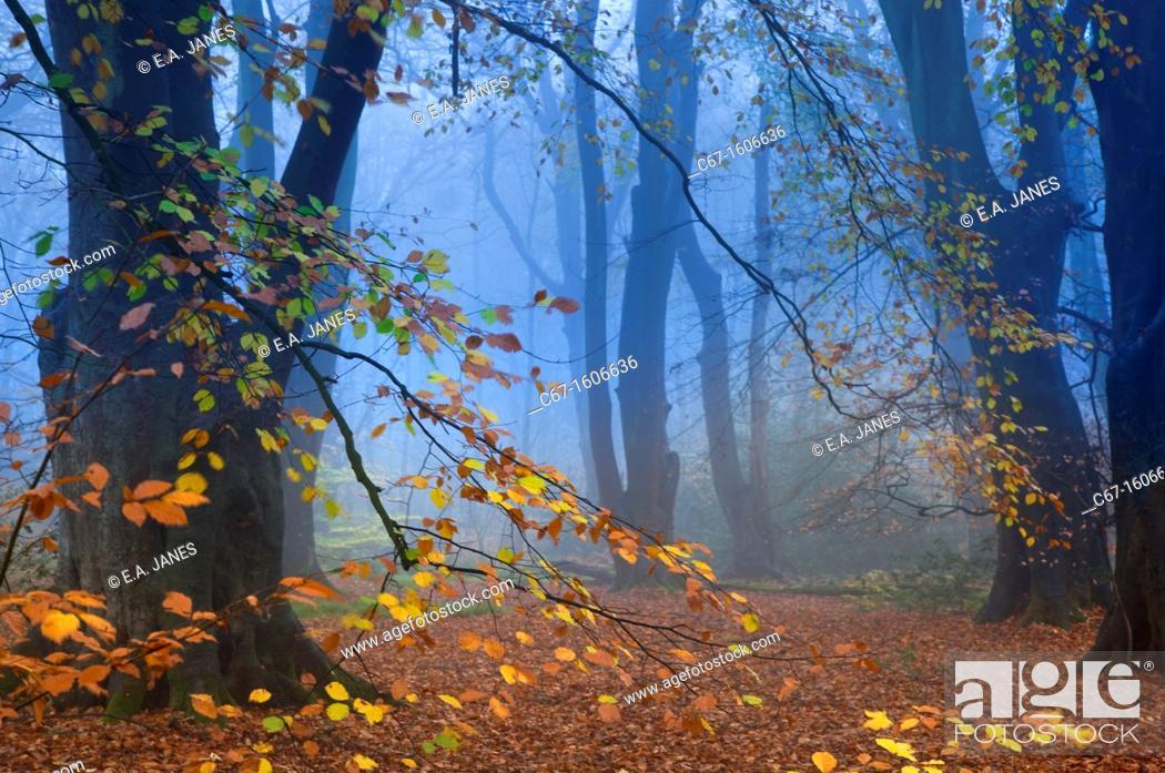 Stock Photo: Beech Fagus sylvatica Felbrigg Great Wood Norfolk UK Early November.