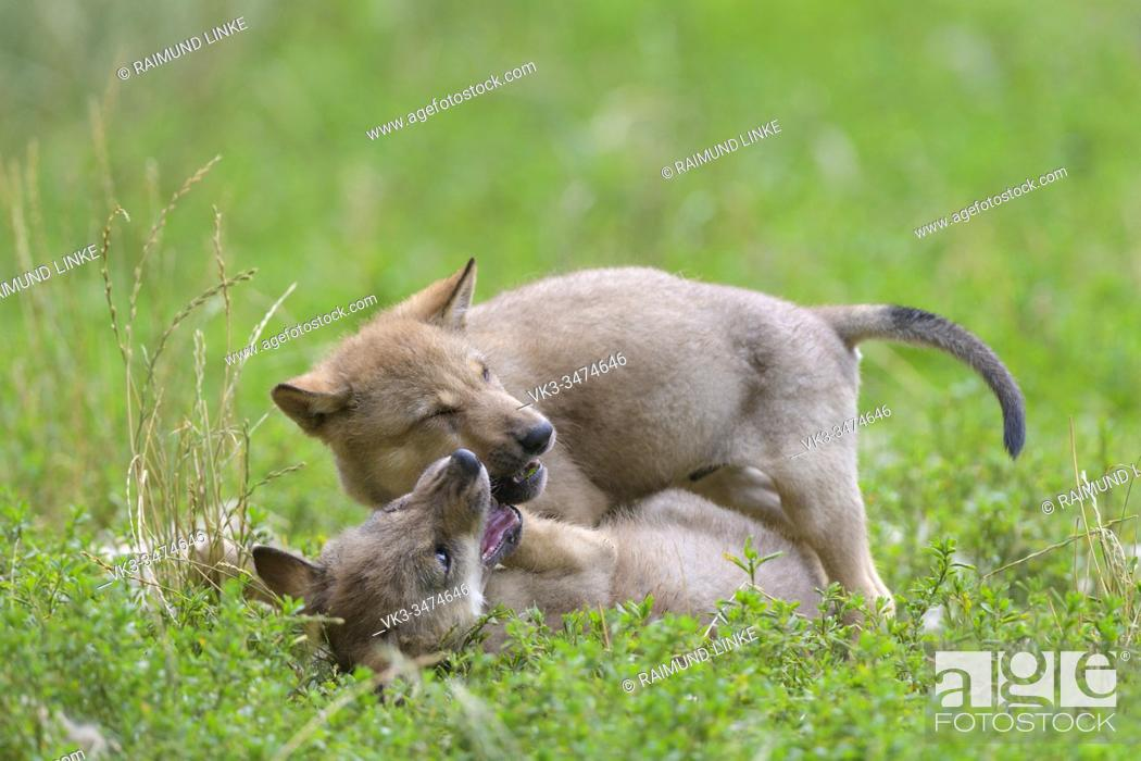 Stock Photo: Wolf, Canis lupus, two cub playing.