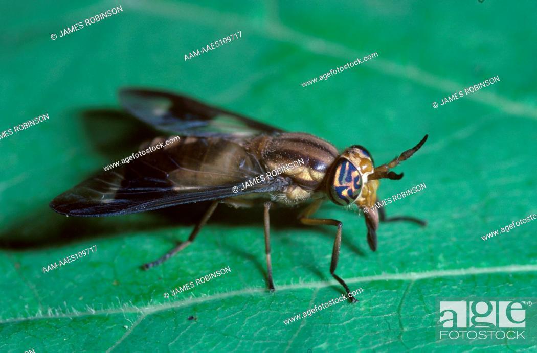 Deer Fly, Female (Chrysops callidus) Bites & Sucks Blood
