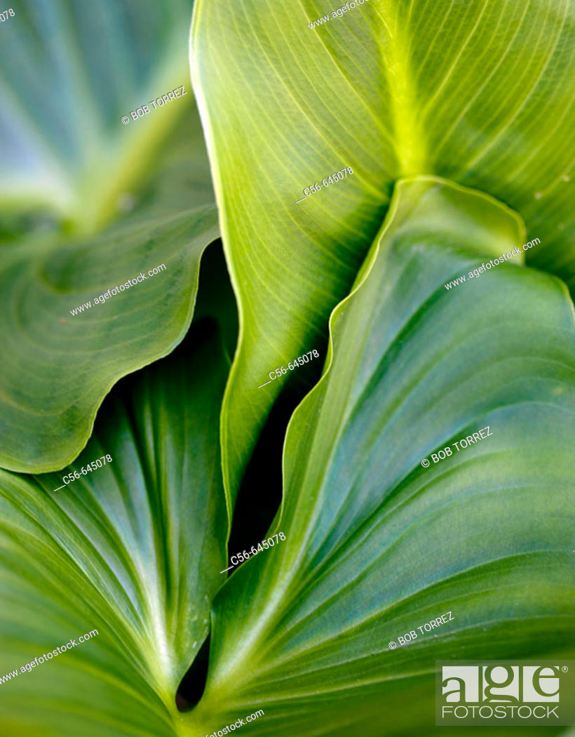 Stock Photo: Close-up of philadendra leaves.