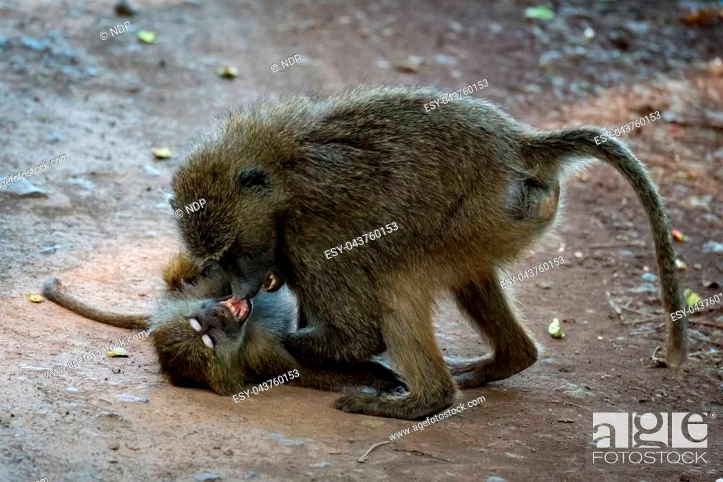 Stock Photo: Two baby olive baboons fight on track.