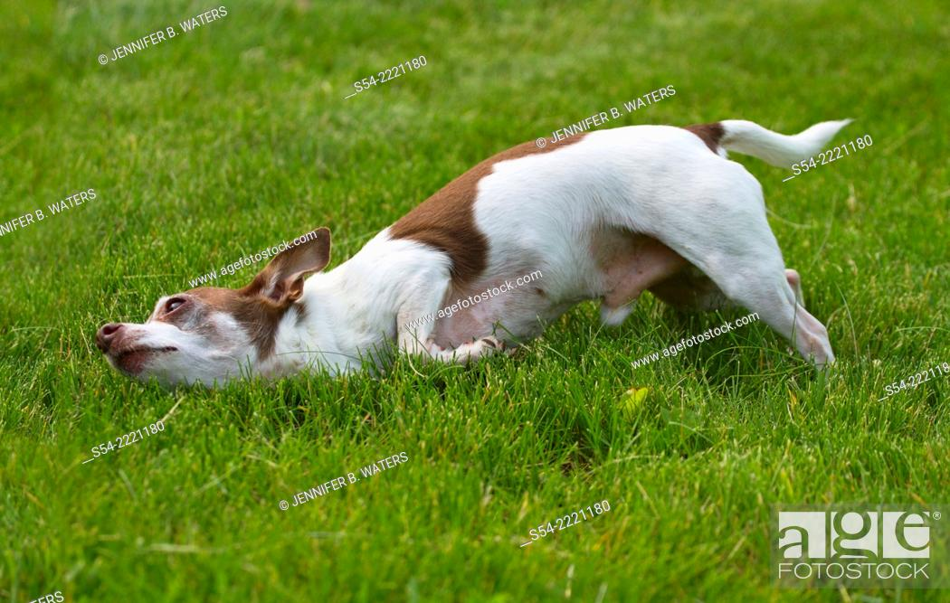 Stock Photo: An adult male chihuahua rolling in the grass.