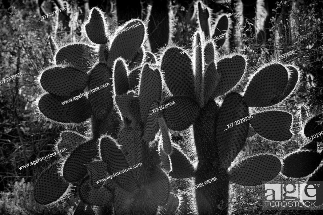 Giant Prickly Pear cactus, Dragon Hill, Santa Cruz Island
