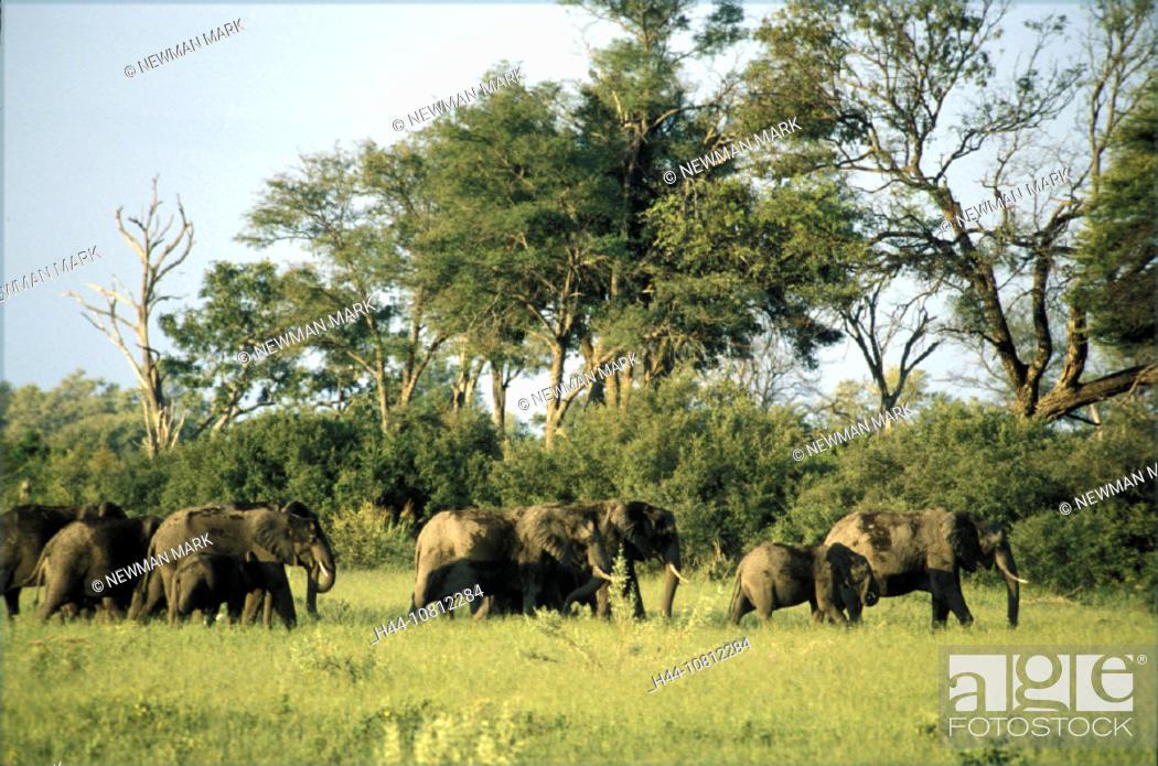 Stock Photo: Africa, n elephant, animal, animals, Botswana, elephant, herd, Linyanti Swamp,.