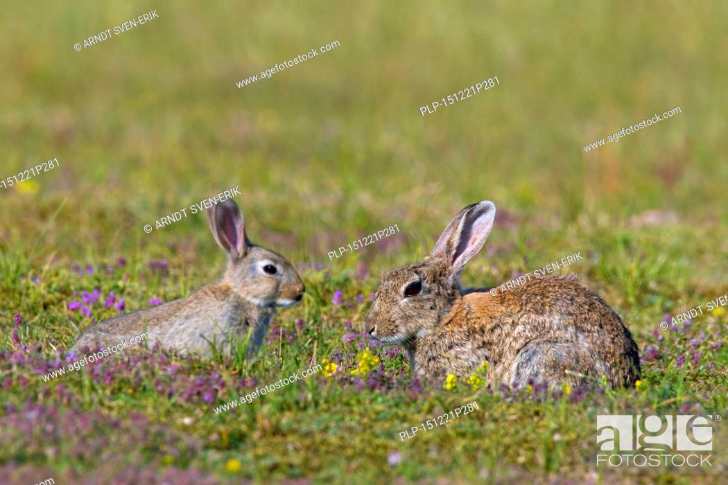 Stock Photo: European rabbits / common rabbit (Oryctolagus cuniculus) adult with juvenile in meadow.