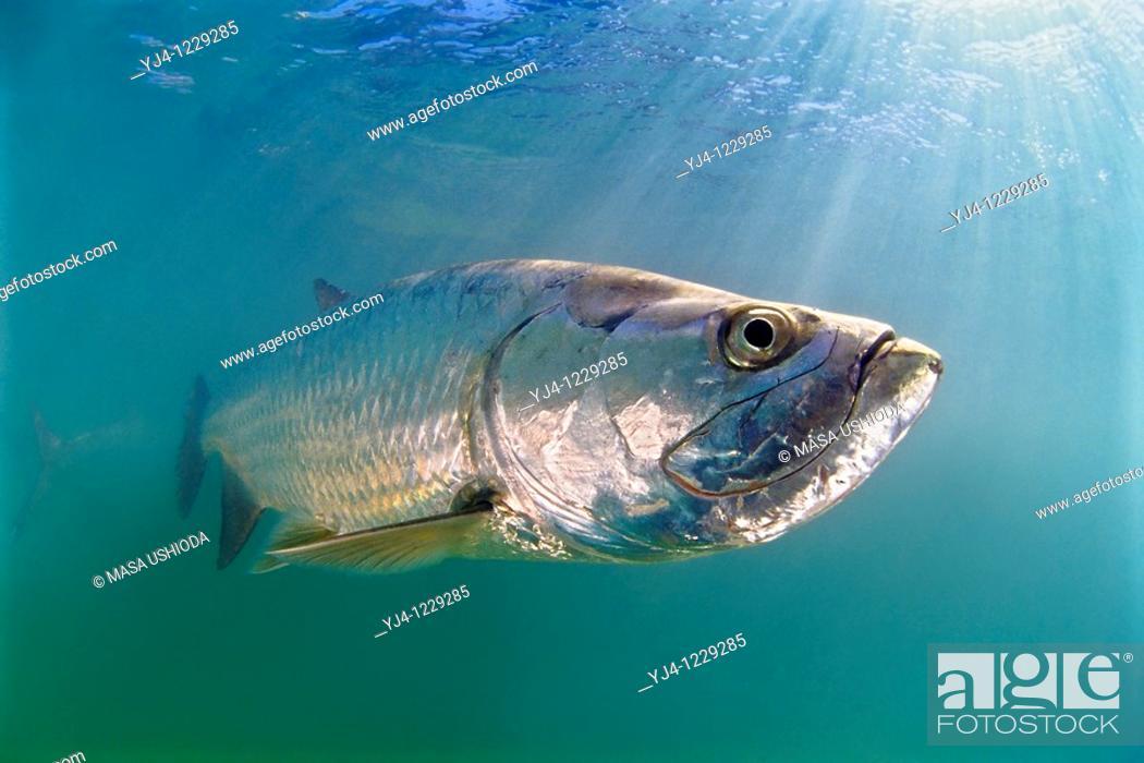 Stock Photo: Atlantic tarpon, Megalops atlanticus, grows up to 2 m 6 6 ft in length and could weigh 160 kg 350 lb, Islamorada, Florida Keys National Marine Sanctuary, USA.