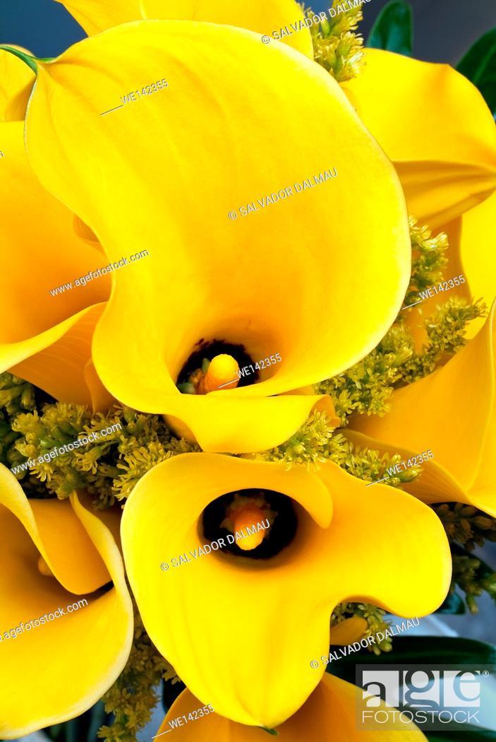 Stock Photo: photography studio, creative image,yellow lily flower,close up shot,location girona,catalonia,spain,europe,.