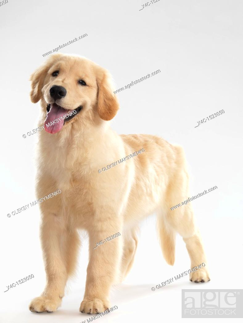 Portrait Of A Golden Retriever 4 Month Old Female Puppy Isolated On