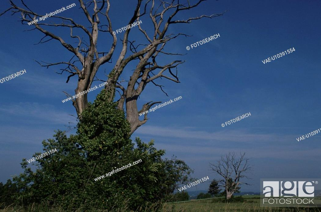 Stock Photo: Withering Big Tree, France.