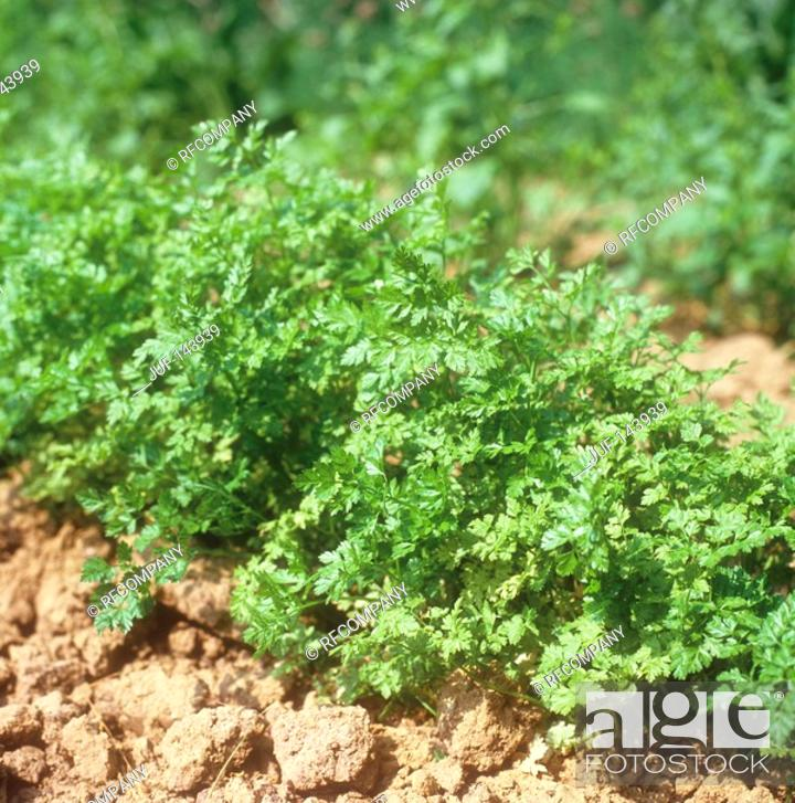 Stock Photo: Chervil / Anthriscus.