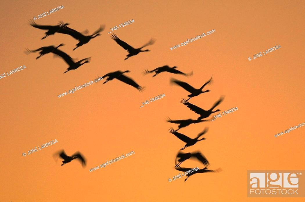 Stock Photo: Grus grus, Gallocanta, Teruel province, Spain.