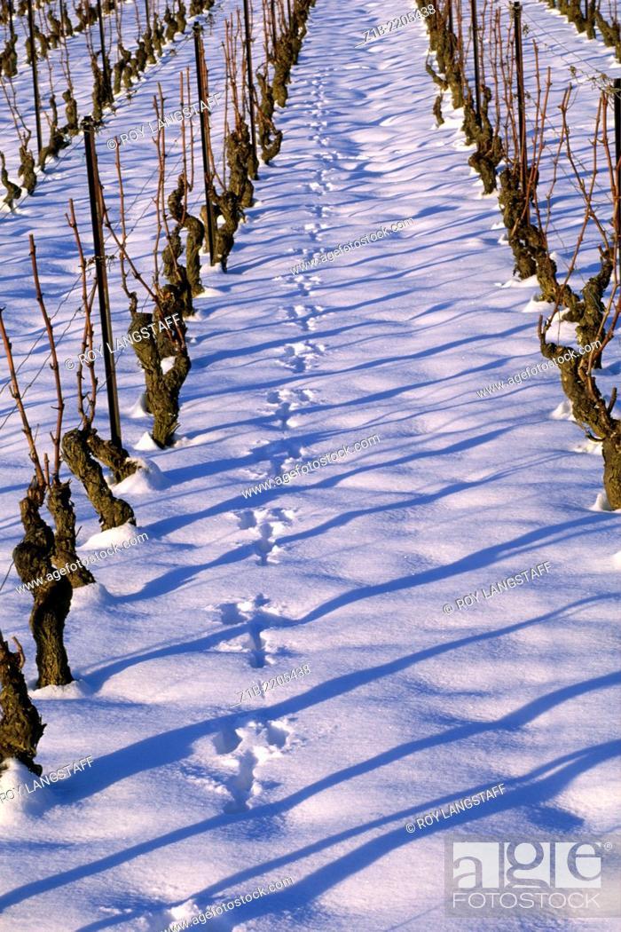 Stock Photo: Animal tracks in the snow between rows of vines, near Geneva, Switzerland.