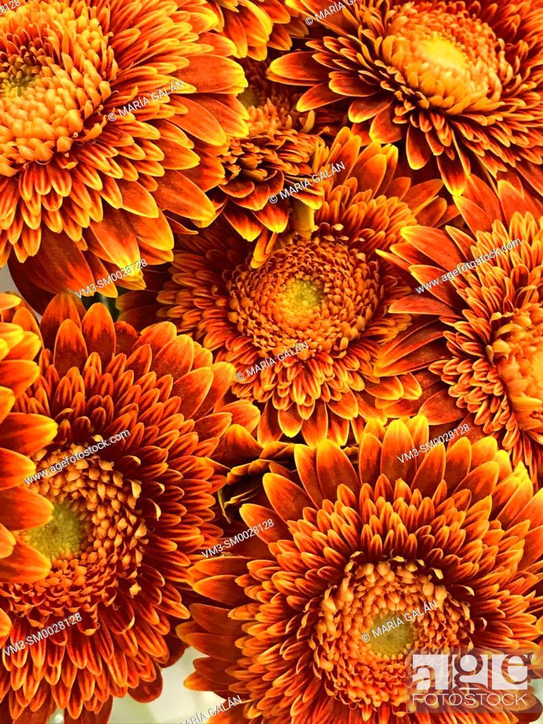 Stock Photo: Chrysantemum flowers.