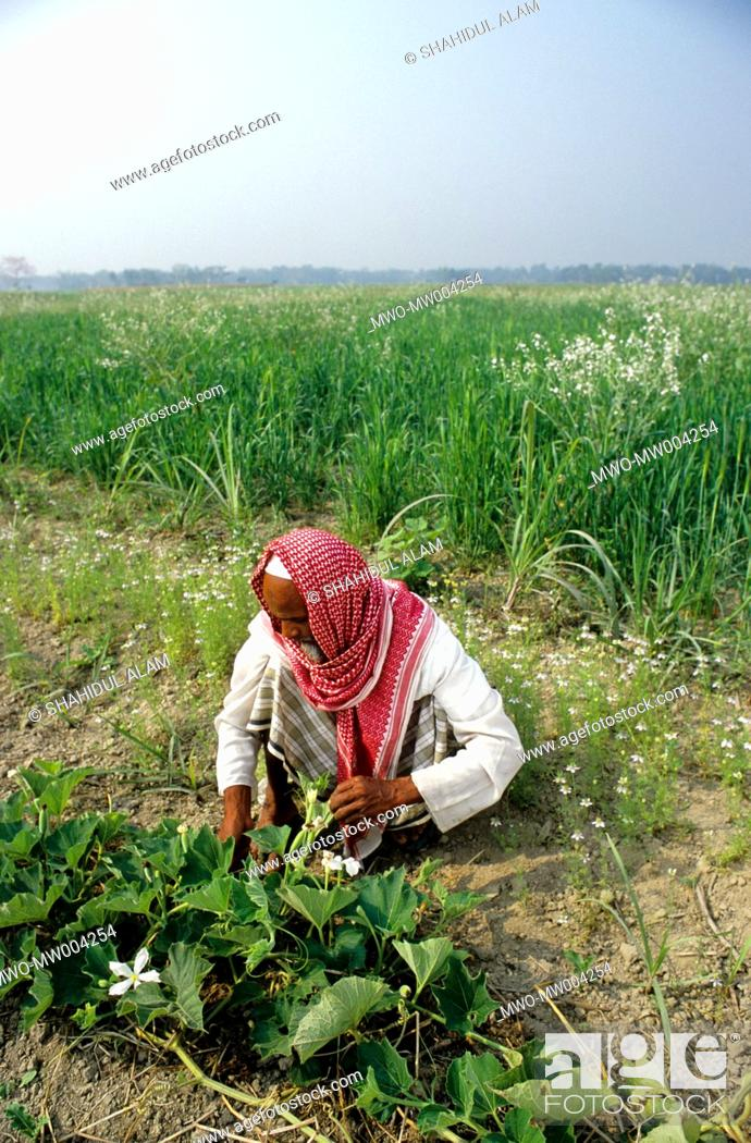 Stock Photo: Nayakrishi new agriculture farmer Md Haider in multicropping field Gorashin, Tangail, Bangladesh.