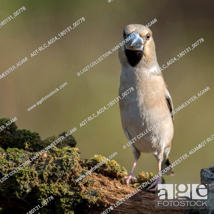 Stock Photo: Adult Hawfinch, Hawfinch, Coccothraustes coccothraustes.