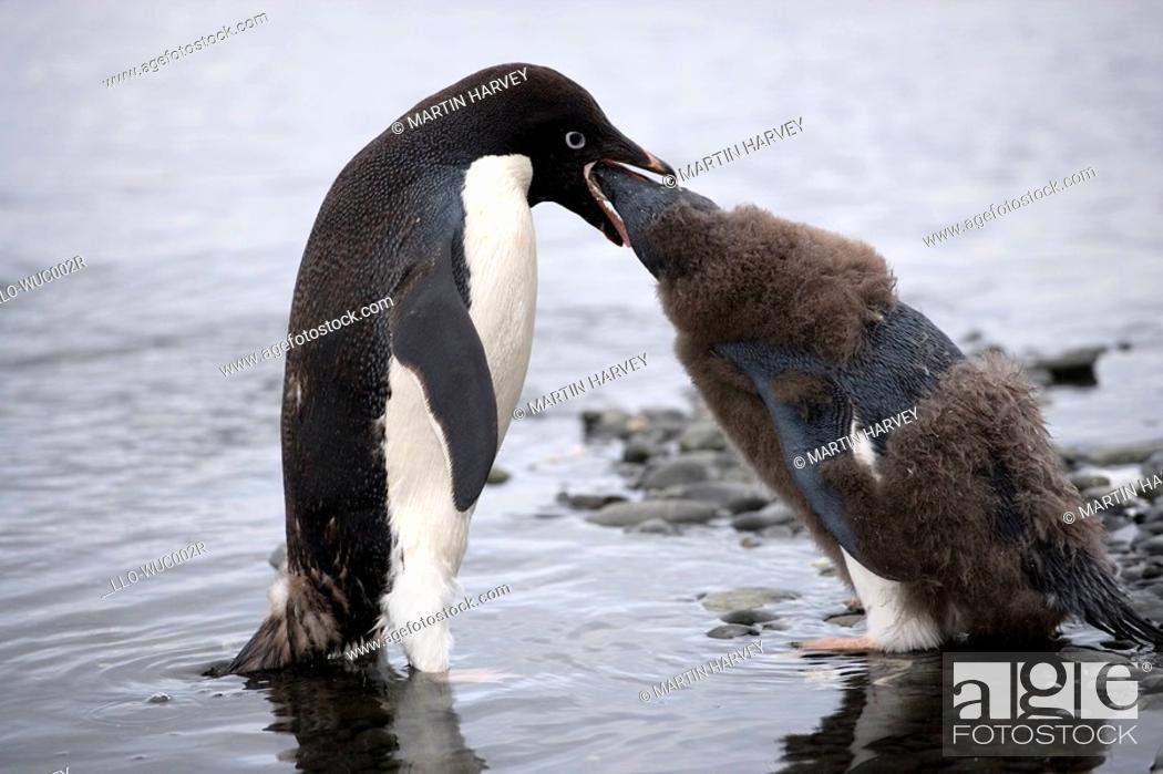 Stock Photo: Adelie Penguin Pygoscelis adeliae Mother Feeding Chick  Antarctica.