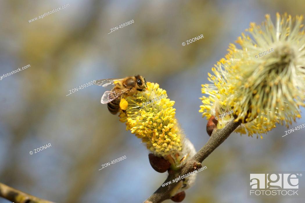 Stock Photo: männliche Blüte mit Biene.