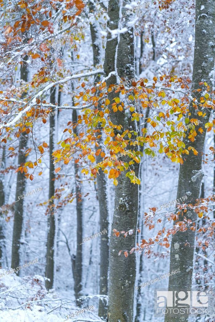 Stock Photo: Snowy forest in autumn, Sierra Cebollera Natural Park, La Rioja, Spain, Europe.
