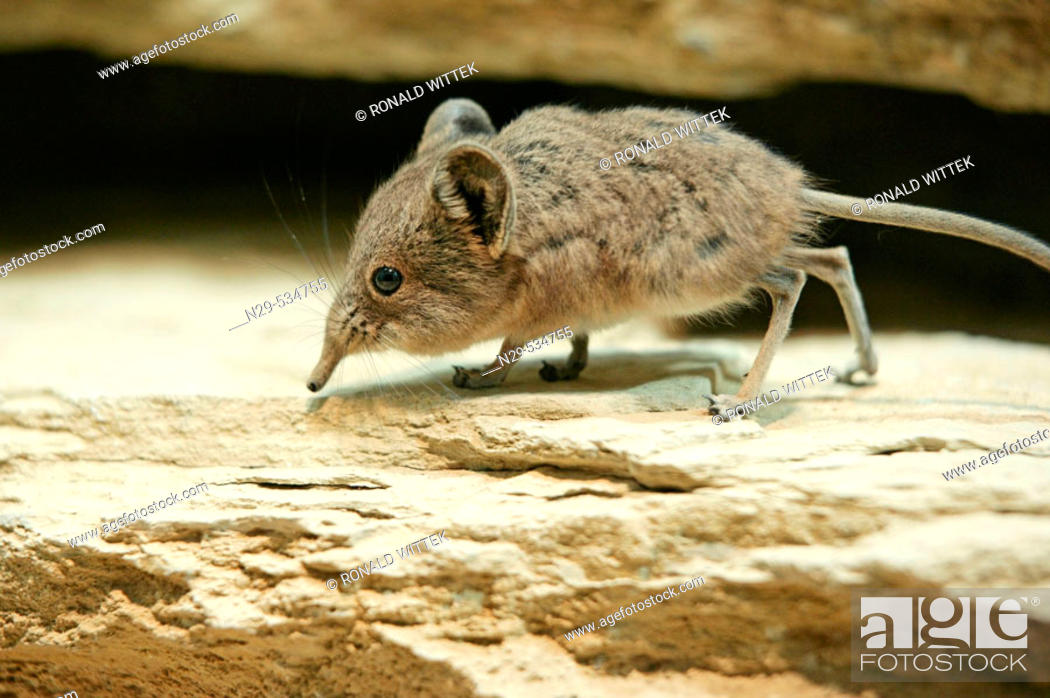 Stock Photo: Short-eared Elephant Shrew, Macroscelides proboscideus, on a rock.