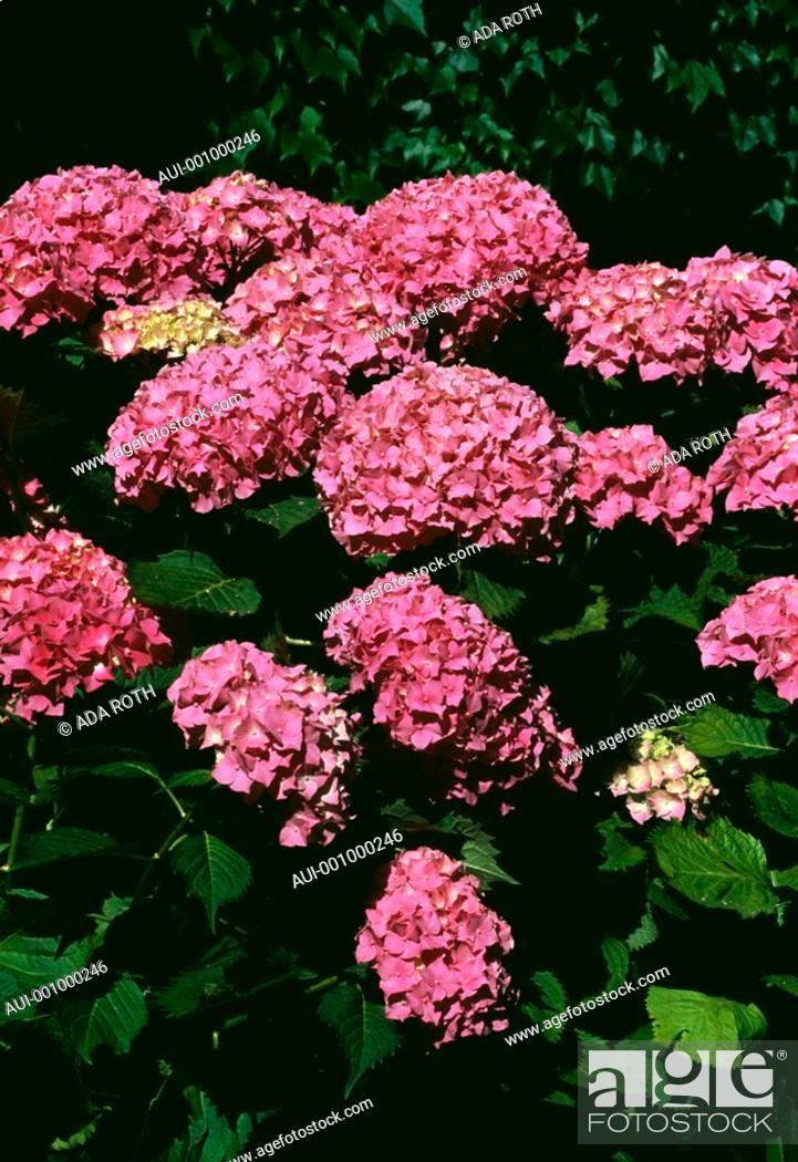 Stock Photo: Hydrangea - pink - bush - impressive - ornemental.