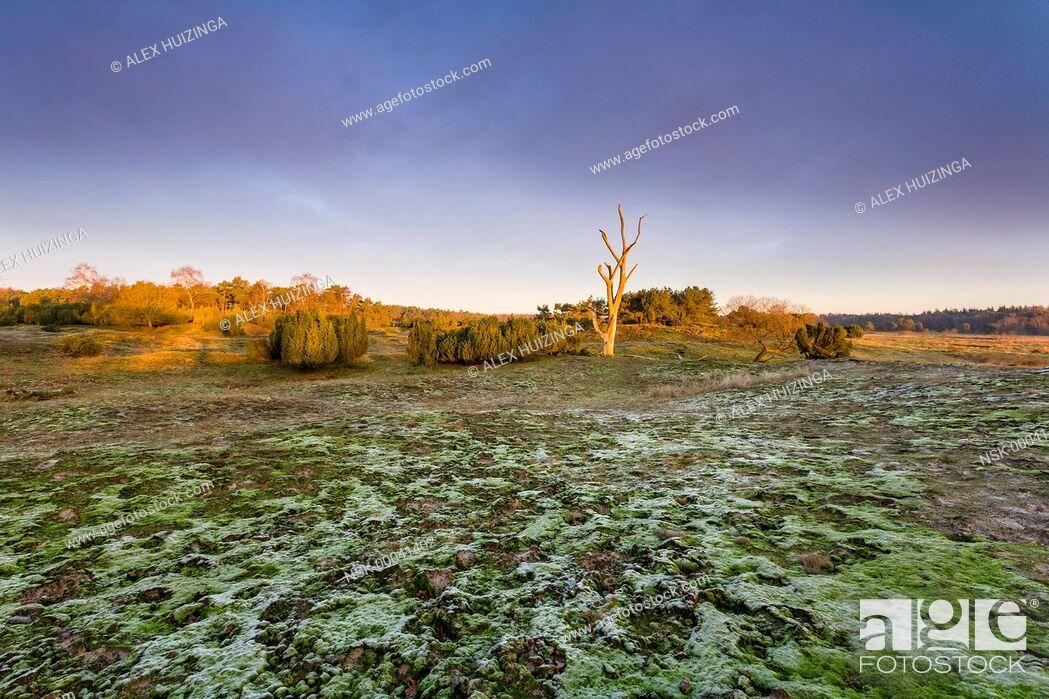 Imagen: Flat with Common Juniper (Juniperus communis), moss and dead tree, The Netherlands, Overijssel, Vecht, Junner Koeland.
