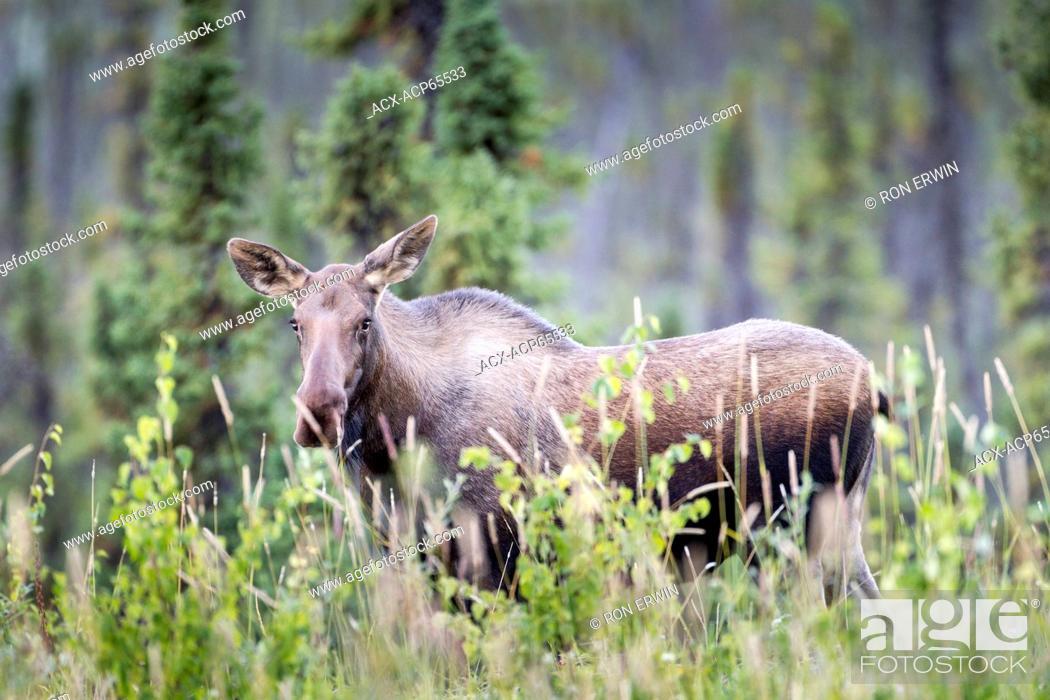 Stock Photo: A cow Alaskan Moose (Alces alces gigas) along the Alaska Highway in the Yukon, Canada.