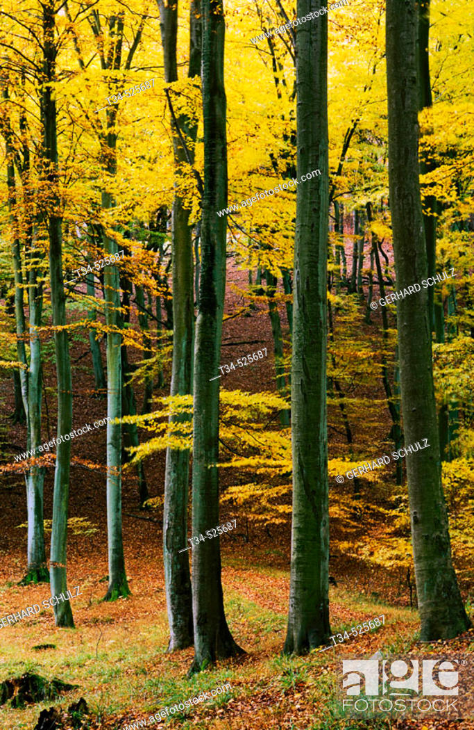 Stock Photo: Common Beech Forest in Autumn. Fagus sylvatica. N.P.Jasmund, Isle of Ruegen. Mecklenburg-Vorpommern, Germany.
