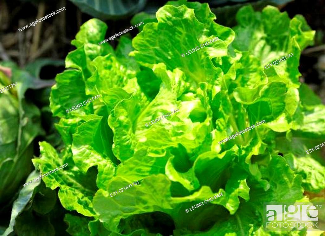 Stock Photo: vegetable in field.