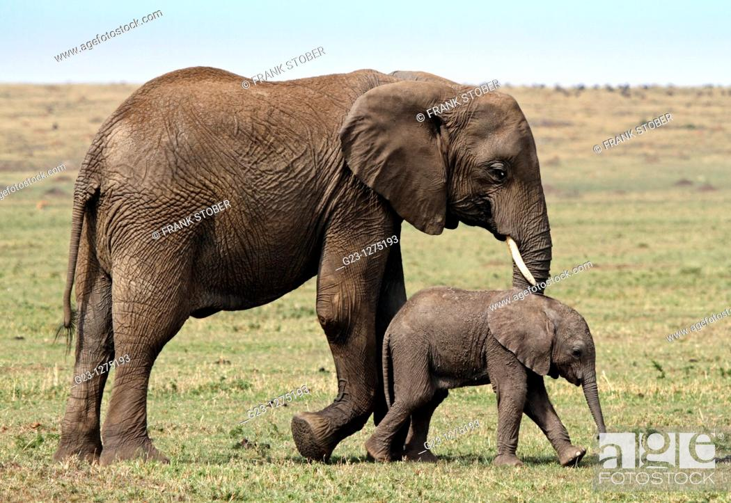 Stock Photo: Elephant family.