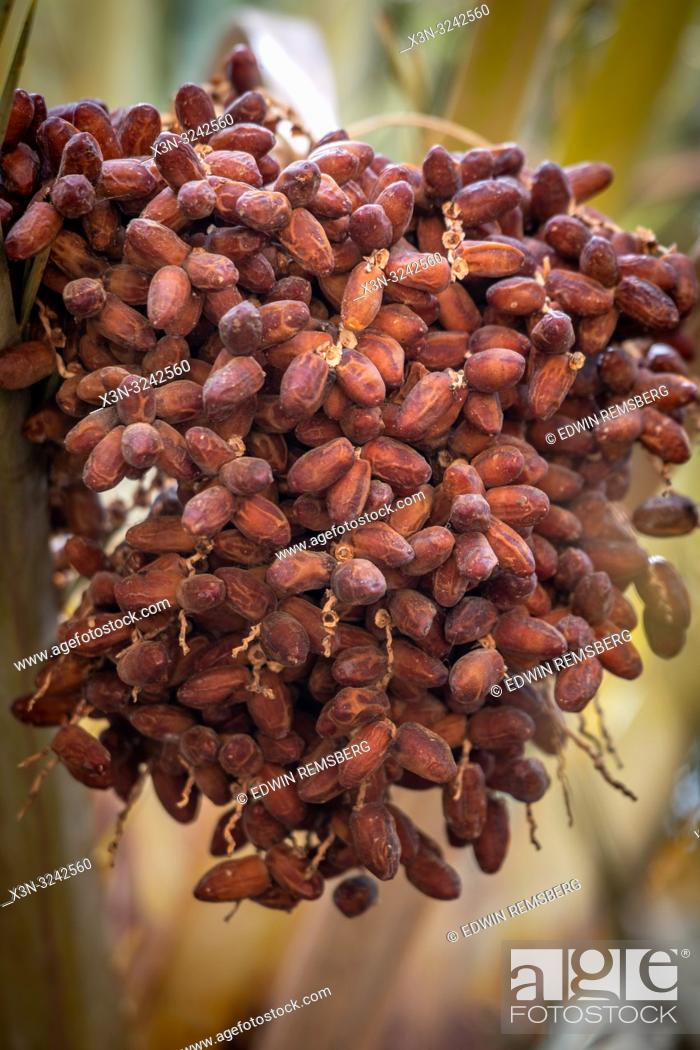 Imagen: Bunch of dates (Phoenix dactylifera) growing on branch of date palm tree, Tighmert Oasis, Morocco.