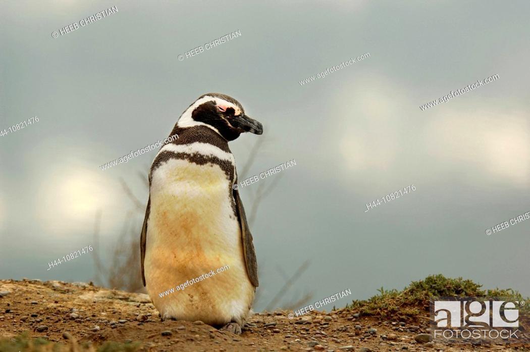 Imagen: Magellanic Penguin, Spheniscus magellanicus, Peninsula Valdes, Puerto Madryn, Patagonia, Argentina, South America,.