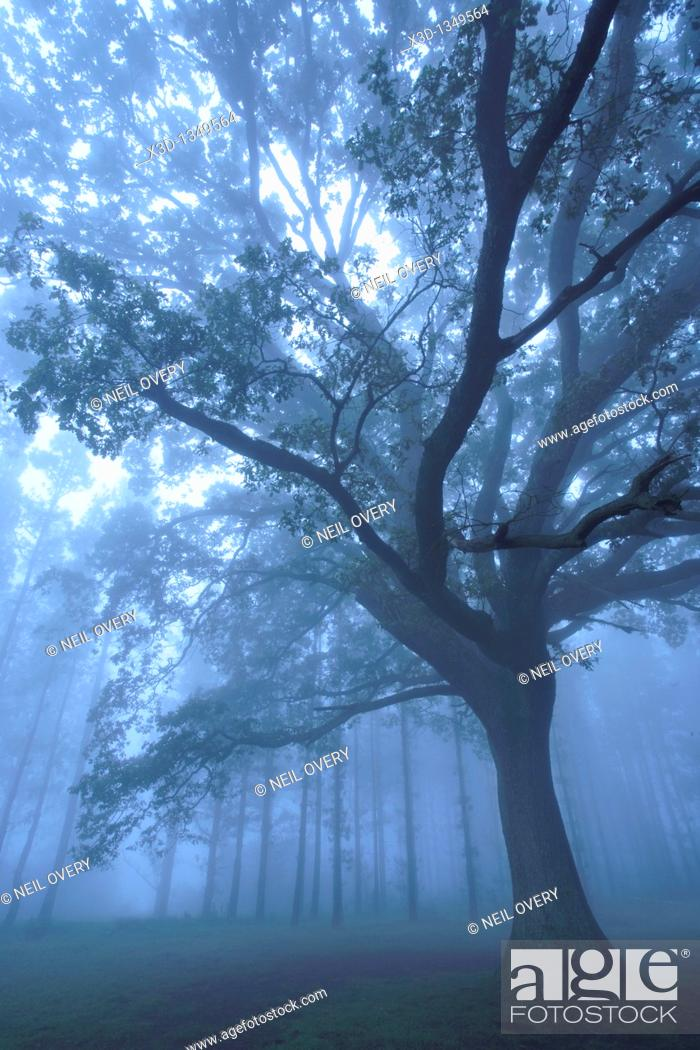 Stock Photo: Tree in the Mist.