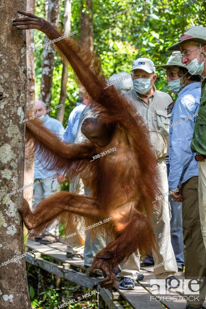 Stock Photo: Young orangutan, Pongo pygmaeus, with tourist at the Orangutan Foundation Care Center, Camp Leakey, Borneo, Indonesia.