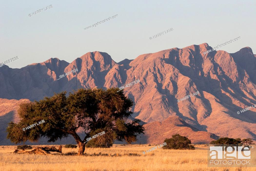 Stock Photo: Grassy steppe with Camel Thorn trees (Vachellia erioloba), near Sesriem Camp, evening light, Naukluft Mountains at the back, Sesriem, Namibia.