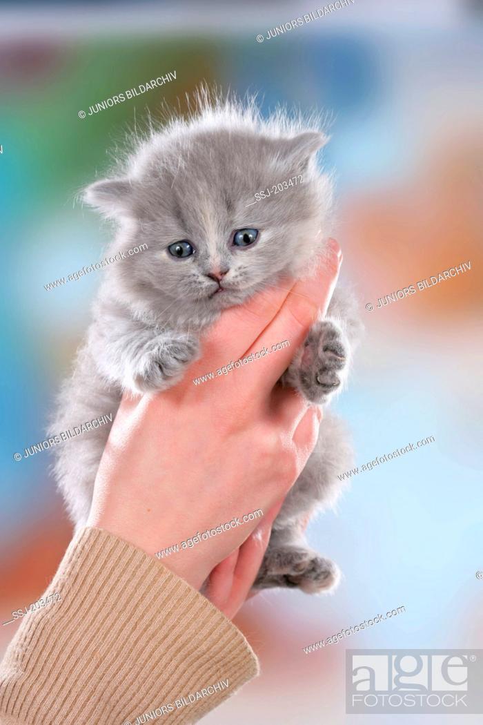 Stock Photo: British Longhair. Kitten held by hands. Germany.