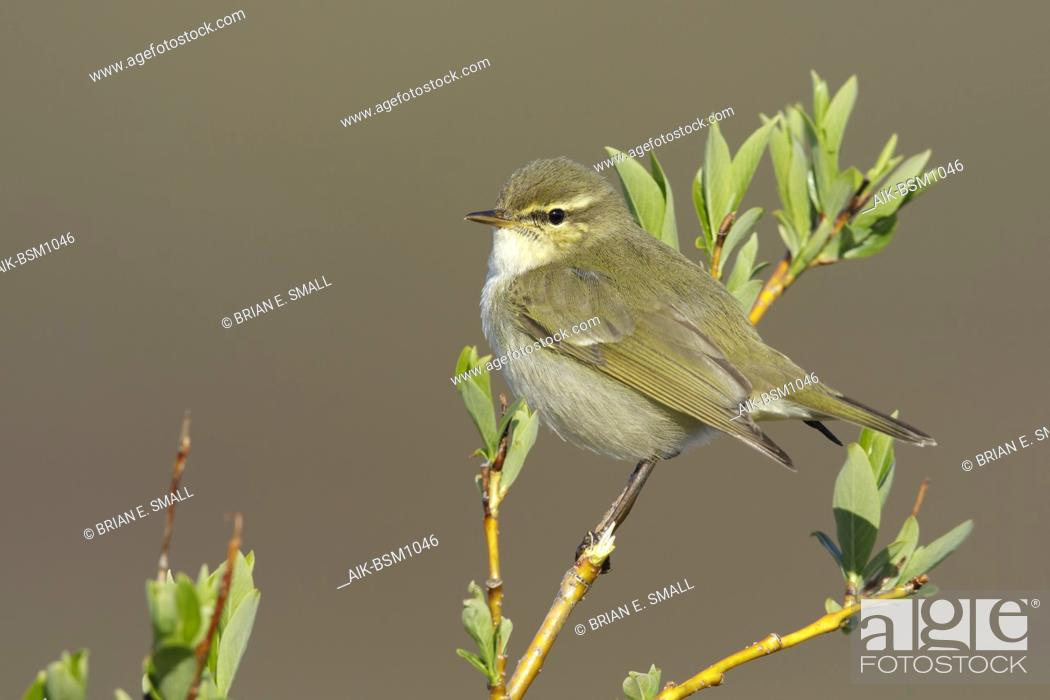Stock Photo: Adult Arctic Warbler (Phylloscopus borealis kennicotti) Seward Peninsula, Alaska, USA.